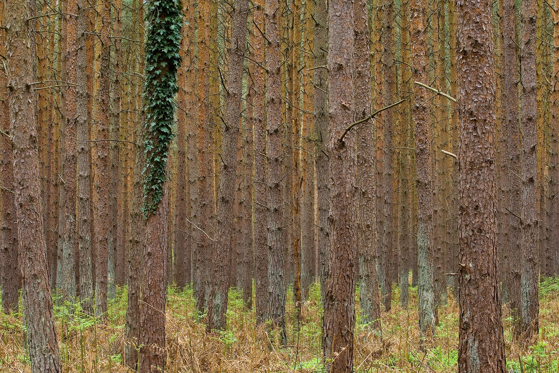 Dichter Kiefernwald auf dem Darß in Mecklenburg-Vorpommern
