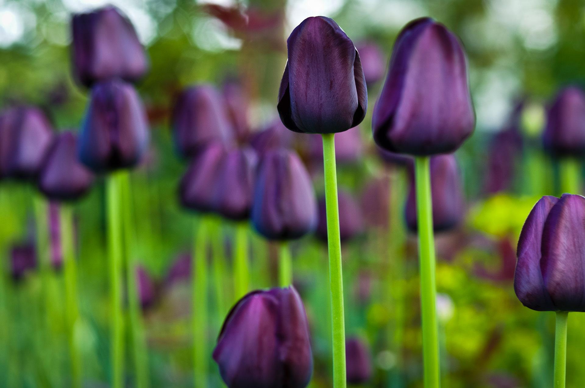 Das Tulpenfeld der Gattung Queen Of Night im Garten mit ihrer Violetten Farbe beeindruckt sehr