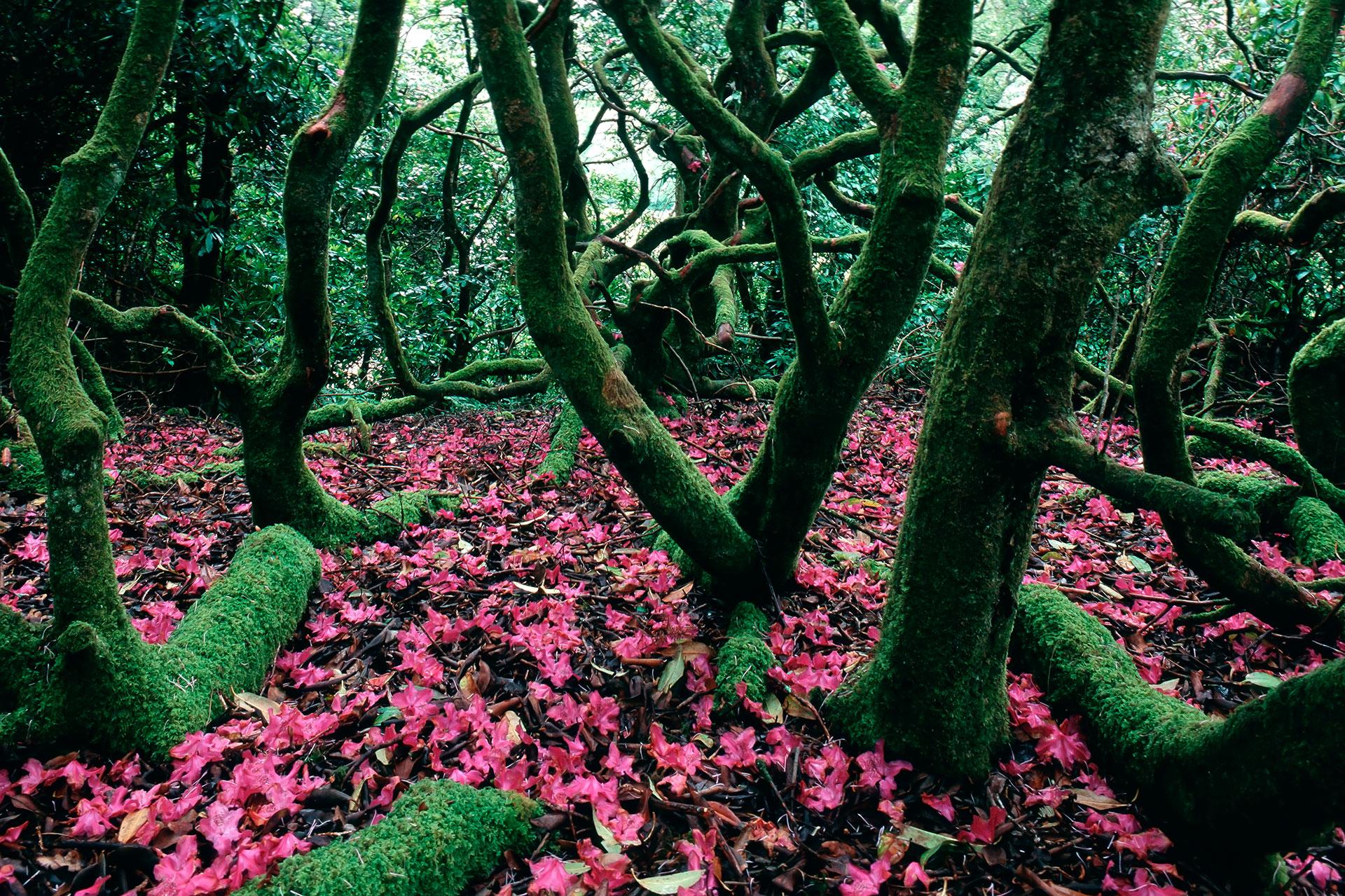 In Schottland wachsen die Rhododendronsträucher in üppiger Form