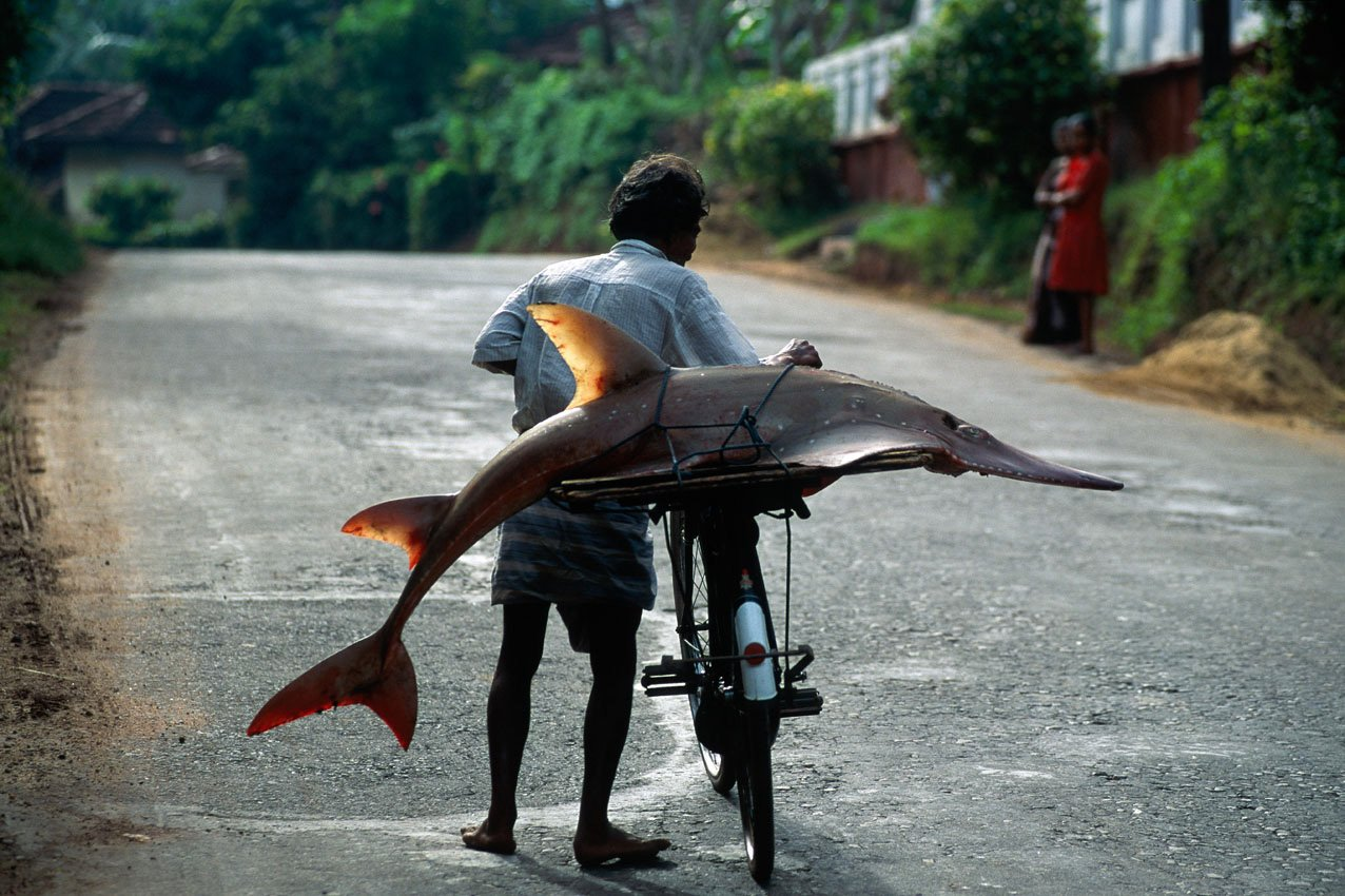 On the island of Sri Lanka, a fisherman pushes his bike with a fish on his luggage rack on the road