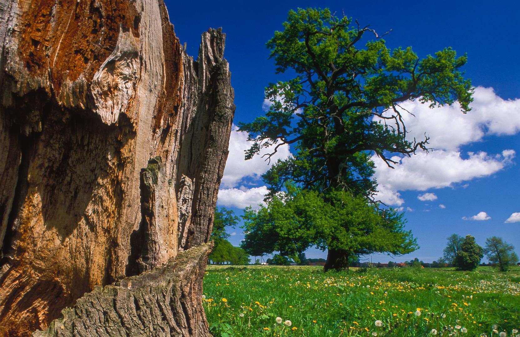 Sommerwiese mit alten Eichen in Brandenburg