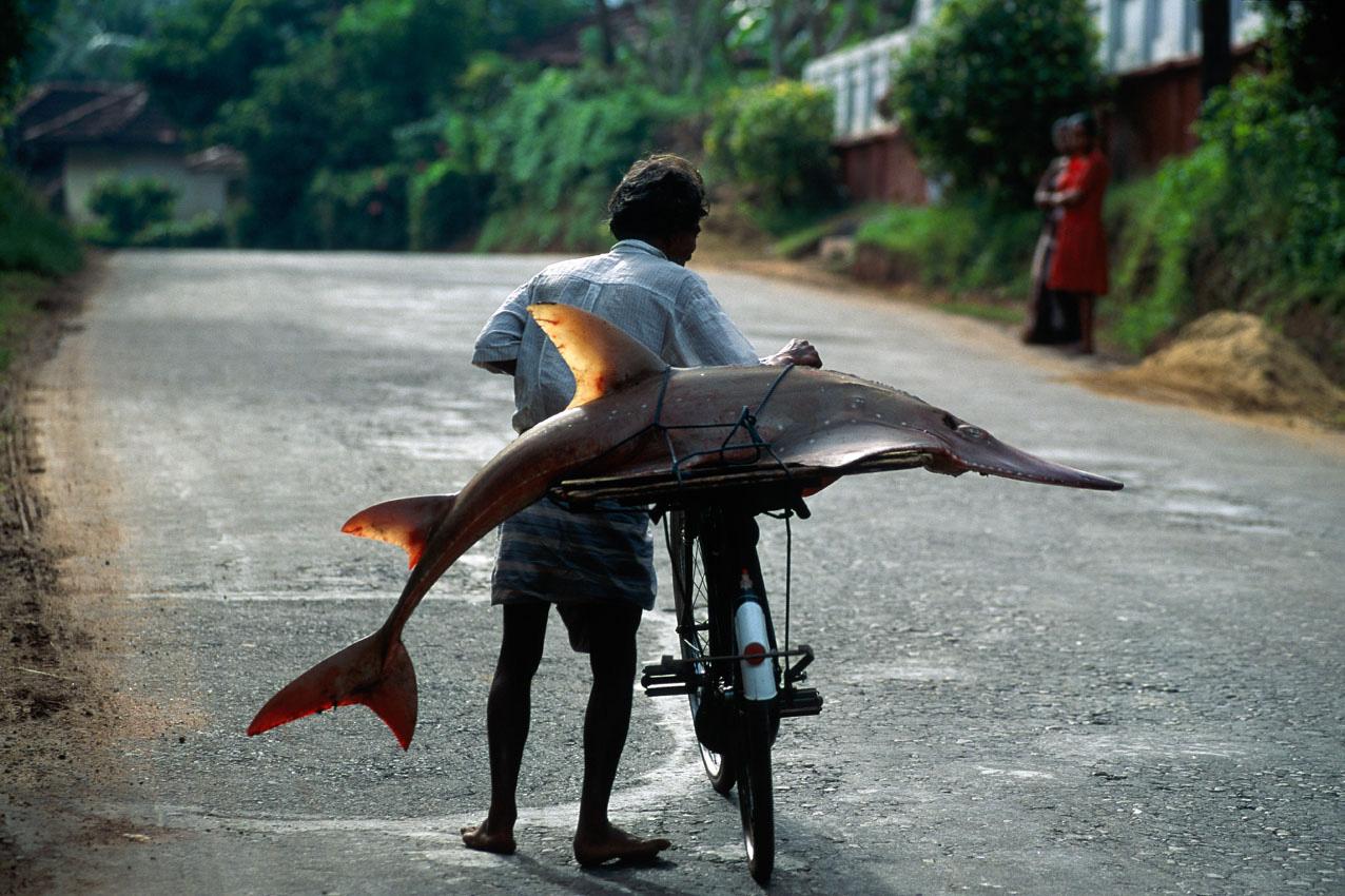 Asien auf der Insel Sri Lanka schiebt ein Fischer sein Fahrrad mit einem Fisch, einem Geigenrochen oder Hairochen auf seinem Gepäckträger auf der Landstrasse