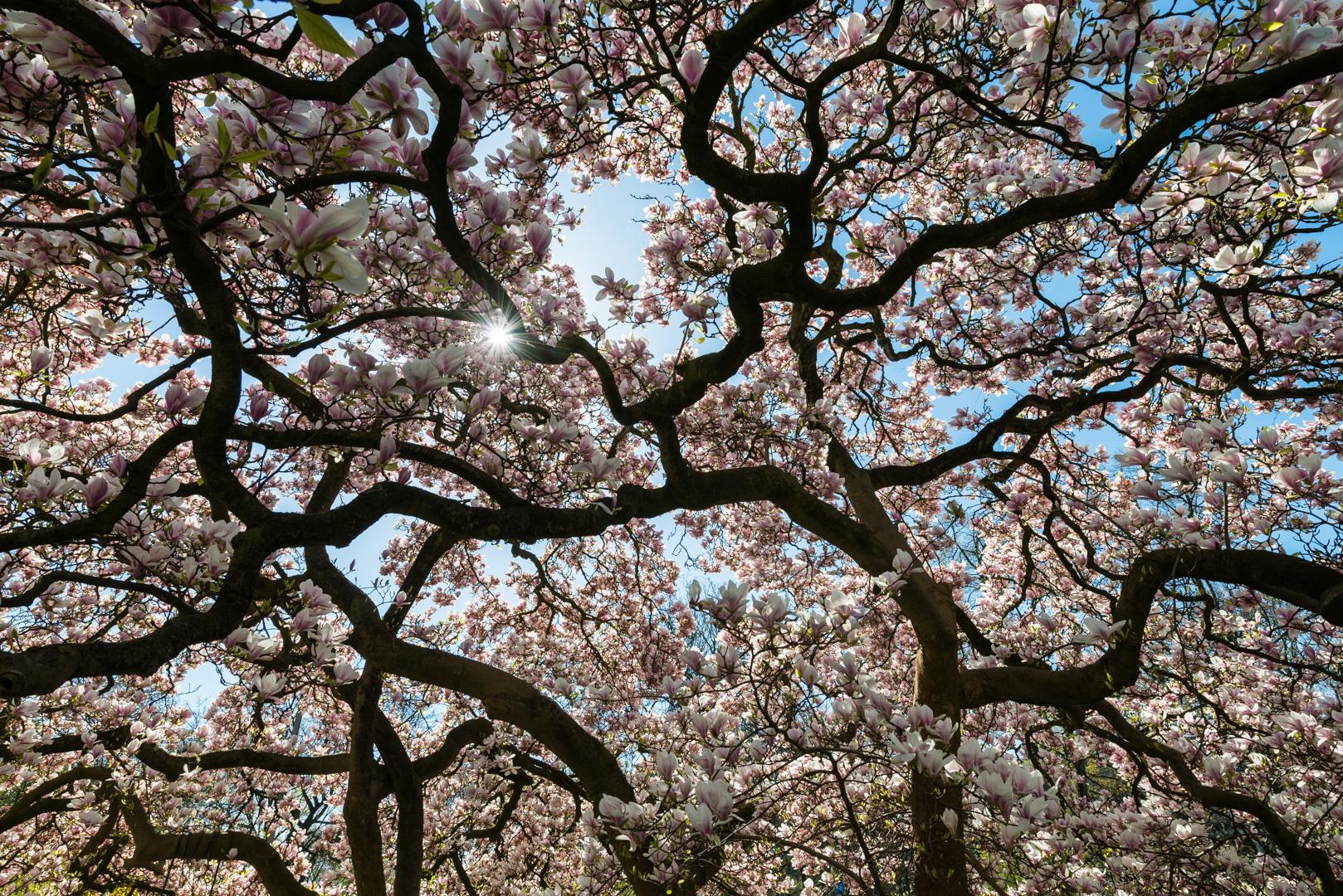 Bremen Magnolie Baum Baumkrone Magnolie Blüten